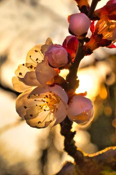 Die Marillenblüte hat begonnen