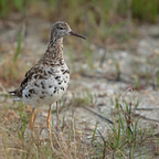 Kampfläufer (Philomachus pugnax) Weibchen