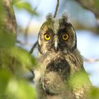 Waldohreule-Jungvogel