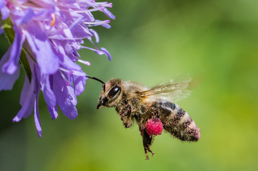 Biene mit rotem Pollenpaket