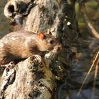 Ratte trocknet sich