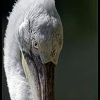 mit dem Pelikan Auge in Auge
