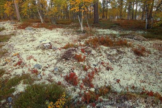 Skandinavischer Waldboden..