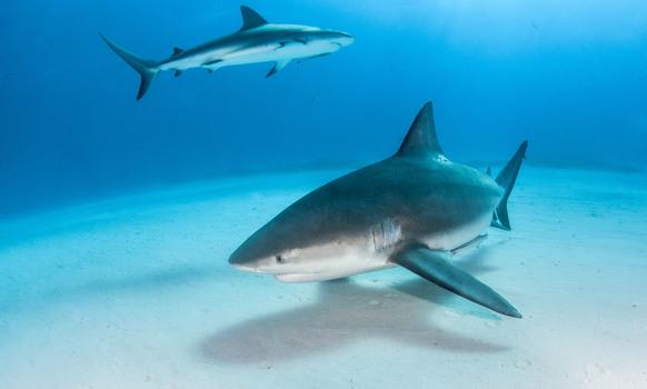 Bullenhai mit Karibischen Riffhai