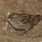 Spatzen, Fink, Sparrow,