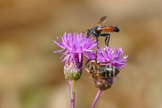 Biene und Raupenfliege