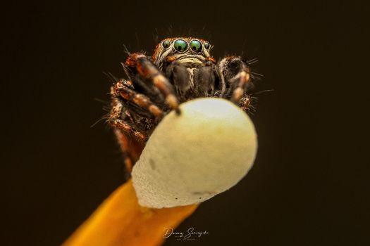 Metallic Jumping Spider