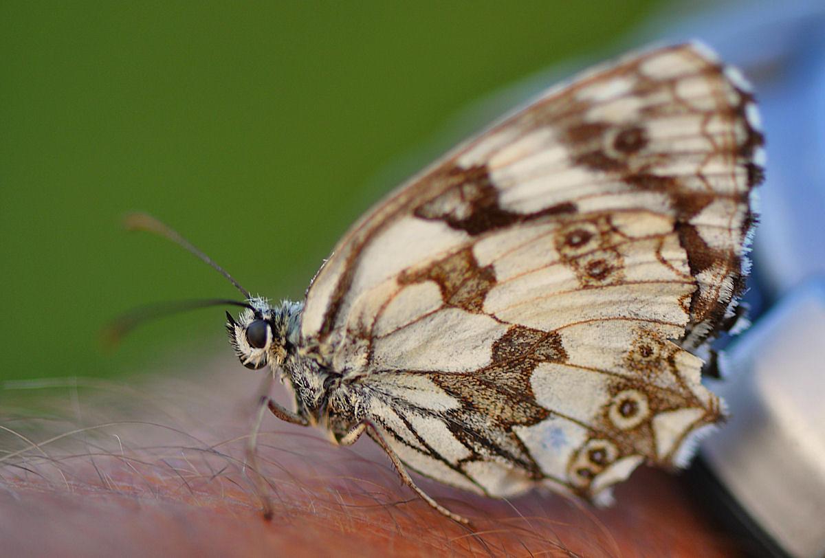 Schmetterlingsprinzessin