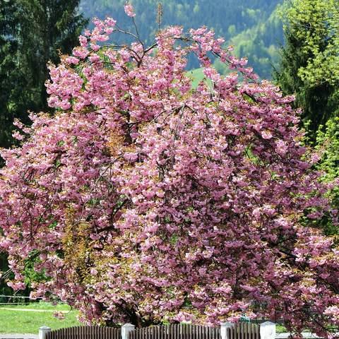 Japanischer Kirschbaum