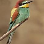 Bienenfresser (Meropidae)