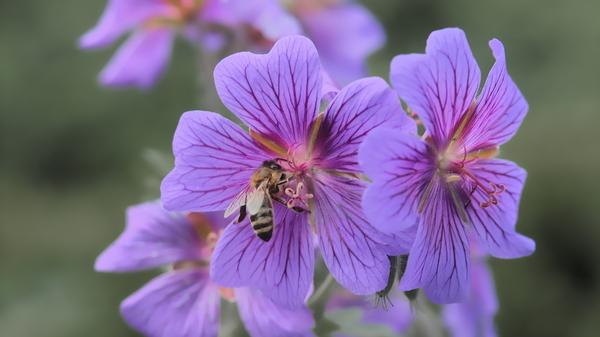 Biene am Storchenschnabel