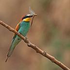 Bienenfresser (Merops apiaster) ..