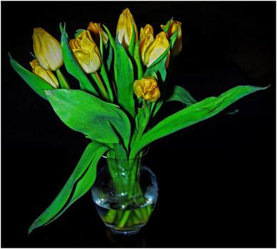 gelbe Tulpen (2)