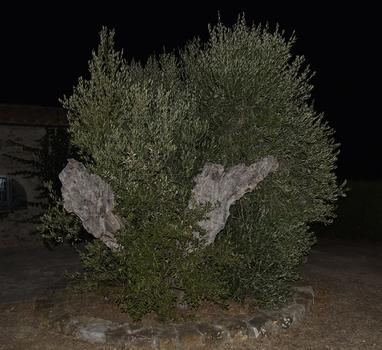Uralter Olivenbaum in der Toskana