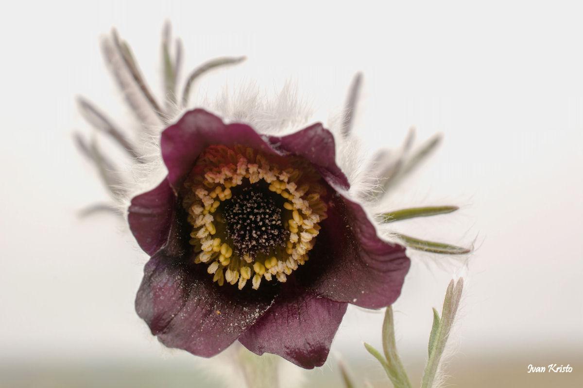 Haarige Blumen