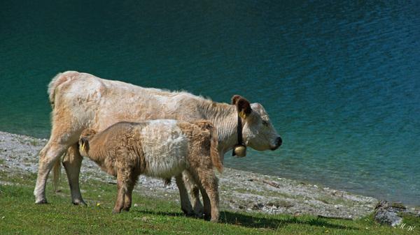 glückliche Kühe auf der Alm
