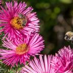 Biene und Hummel bei der ARbeit