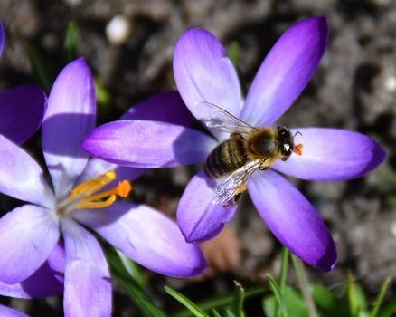 Emsig sind die ersten Bienen nach dem Winter