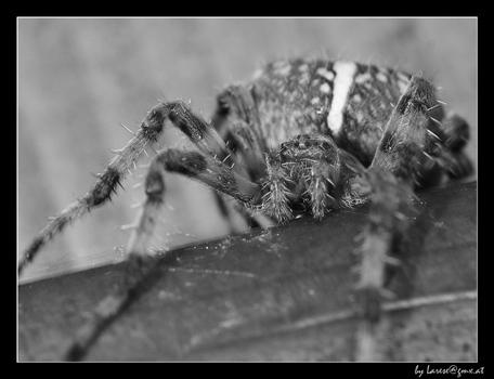 B&W Spider
