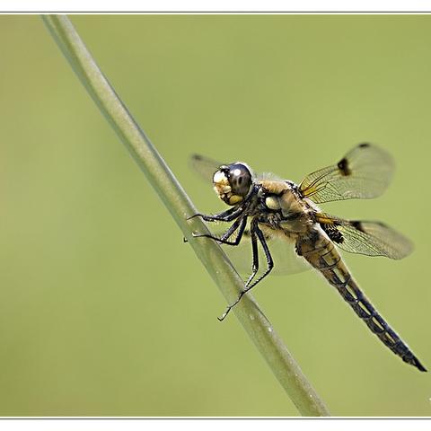 Libelle am Biotop Ii