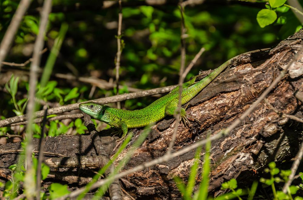 Smaragdeidechse (lacerta viridis)
