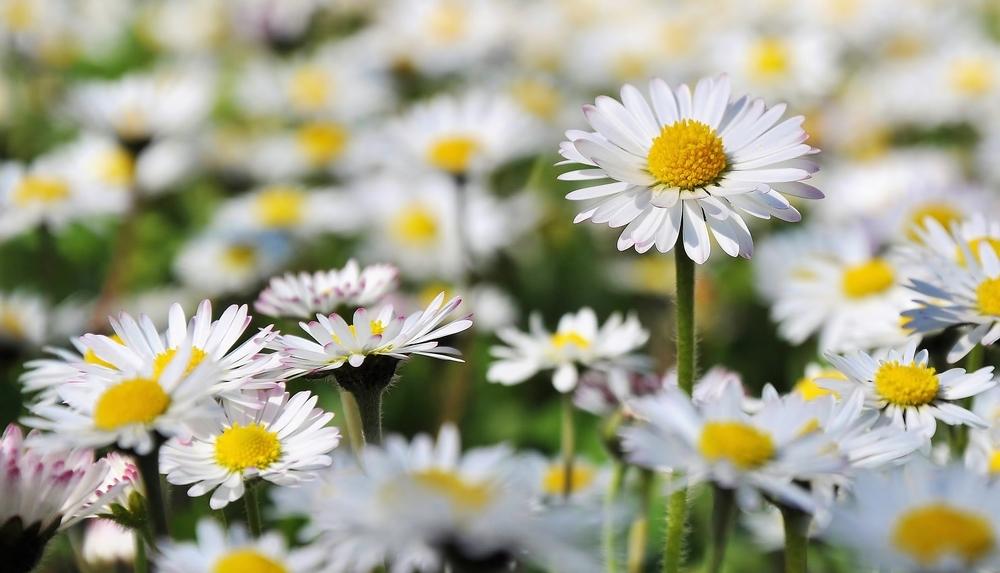 Lovely Daisy Meadow - soon (2)