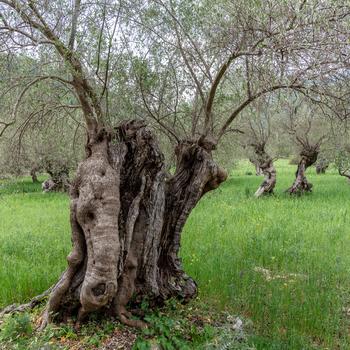 Die Fröhlichen - Olivenbäume