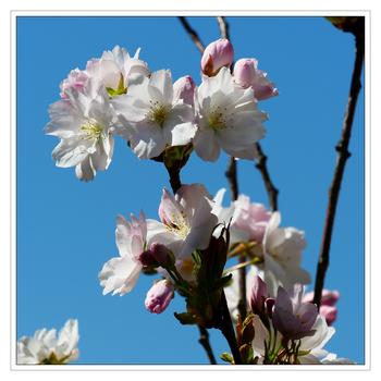 Blüten einer Säulen-Zierkirsche