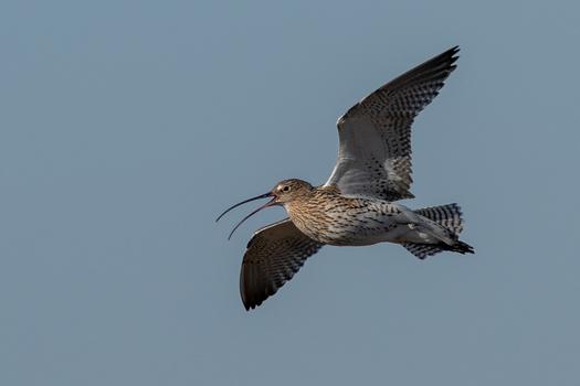 Grosser Brachvogel