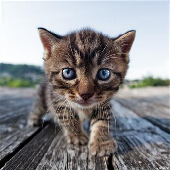 Katzenkopp