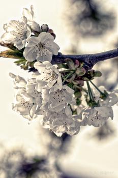 Baumblüten II