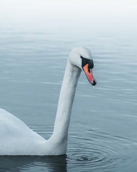 Swan with Waterdrops