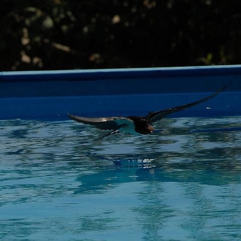 Schwalbe im Anflug auf unseren Pool