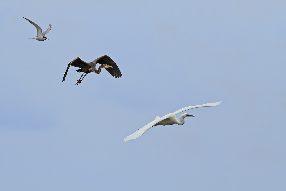 Seeschwalben (Sternidae) + Purpurreiher (Ardea purpurea) + Silberreiher (Casmerodius albus)