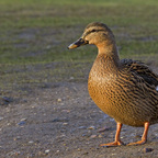 Lady Quack ...