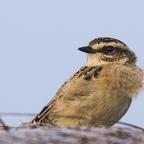 Braunkehlchen (Saxicola rubetra) Weibchen