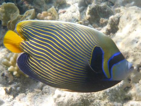 Kaiserfisch Im Roten Meer