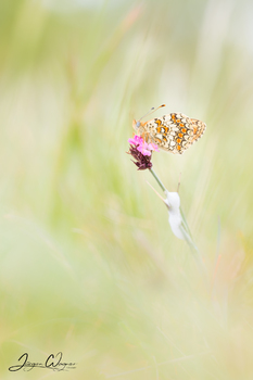 Flockenblumen Scheckenfalter/Melitaea phoebe