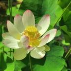 Indische Lotosblume (2)