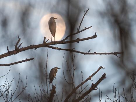 Reiher im Mondlicht