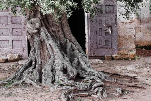 Olivenbaum und alte Masseria  # 1