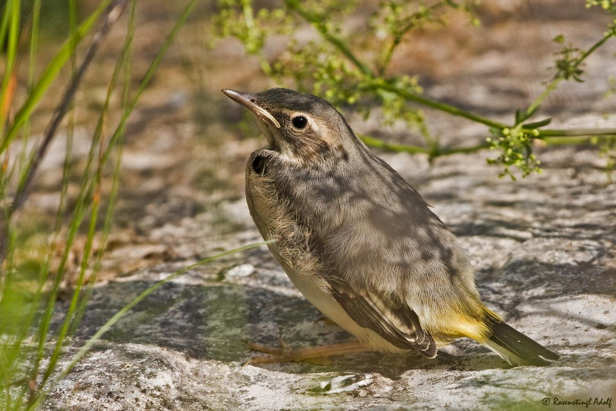 Gebirgsstelze (Motacilla cinerea) - Jungvogel