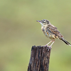 Brachpieper (Anthus campestris) Jungvogel