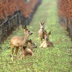 Rehe im Weingarten