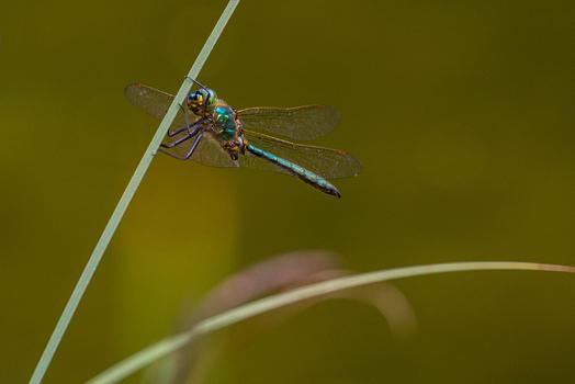 Glänzende Smaragdlibelle (m)