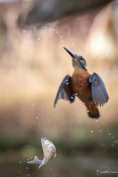 Fliegender Bitterling