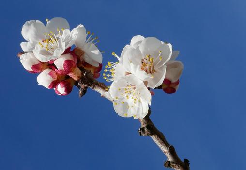 erste Marillen Blüten