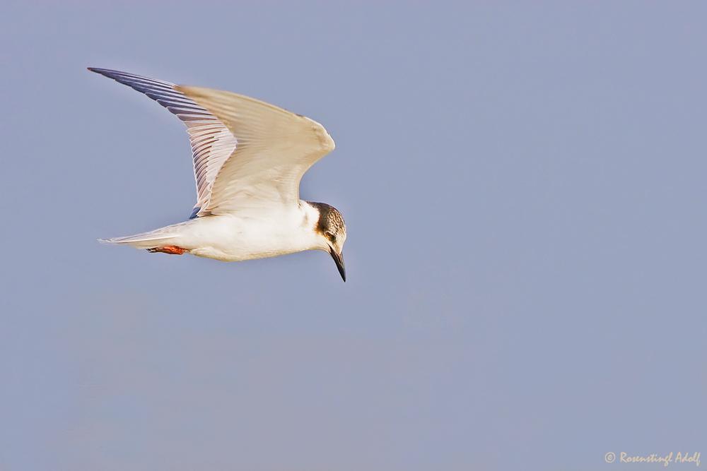 Weißbart-Seeschwalbe (Chlidonias hybridus)