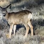 Riesenohr-Bambi:-)