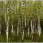 Birken - Wald
